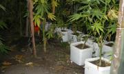 Откриха оранжерия за марихуана в Еленския Балкан