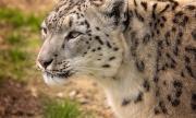 Снежен леопард заживя в Софийския зоопарк