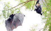 Откриха 39 вида вируси сред прилепи в Швейцария