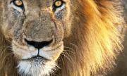 Разградският тигър Масуд почина в Нидерландия