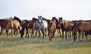 Застреляли над 20 коне в Правешко и Ботевградско