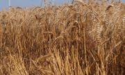 Отчитат ръст на добива на пшеница