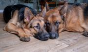 Кучета спасиха стопанката си от най-коварната болест
