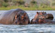Хипопотамите на Пабло Ескобар получиха граждански права в САЩ
