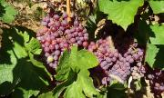 Пандемията удари и реколтата от грозде