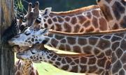 Жираф падна върху джип с туристи