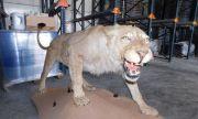 Откриха препариран лъв в хале в Разград (СНИМКИ)