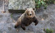 Тревога в Румъния! Опасност за скиорите заради мечка по пистите (ВИДЕО)