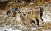 Вълци тормозят жителите на Болярово