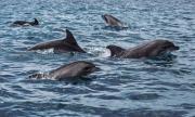 Стадо делфини изяде заргана пред очите на рибарите в Поморие (ВИДЕО)