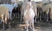 Евросредствата са химера за хиляди животновъди