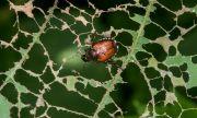Японски бръмбар сее ужас в Германия