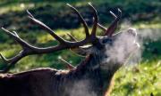 Застреляха благороден елен в Шуменско