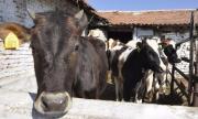 29 крави и юници умряха след водопой на река Марица
