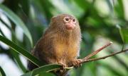 Вижте най-дребната маймунка в света