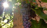 Разбита е група, вкарвала нелегално нископлатени гроздоберачи от България за Франция