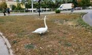 Лебед се разходи между колите в Пловдив, спасиха го