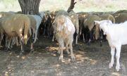 Наши евродепутати: Резолюцията за ограничаване на животинските антибиотици е лобистка