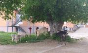 Кози пасат в двора на болницата по време на карантина в Бяла Слатина