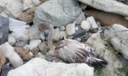 Спасиха розово фламинго, открито в Китен