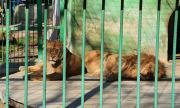 Лъвовете в Разград минават на специална диета