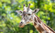 Евтаназираха най-стария жираф в Европа