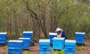 Продължава масовото измиране на пчели у нас
