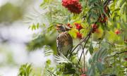 Птиците пеят по-тихо и