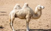 Заснеха рядка бяла камила в Китай (ВИДЕО)