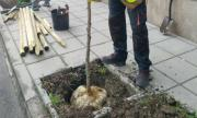 Засаждат 2500 дървета в София през есента