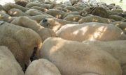 В България има стотици хиляди виртуални овце