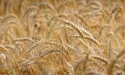 17 000 дка с пшеница в област Добрич са пропаднали заради сушата