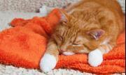 Първи случай на котка с коронавирус