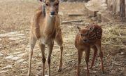 Роди се петнисто виетнамско еленче в столичния зоопарк (СНИМКИ)