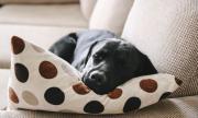 Куче изнасили възглавница по време на онлайн урок по йога (ВИДЕО)