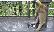 """Маймуна-алкохолик ще излежава """"доживотна присъда"""""""