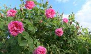 Ниски изкупни цени и липса на пазар унищожават българската розова индустрия