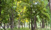 Многобройните ползи от сандаловото дърво
