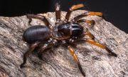 Откриха 5 неизвестни вида паяци в Австралия