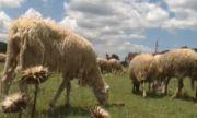 Взимат повторни проби за чума по овцете в Болярово