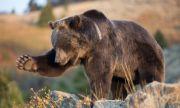 След нападението на мечка учат хората как да се държат при такъв случай