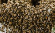 Мъж се покри с почти 64 килограма пчели за рекорд на Гинес (ВИДЕО)