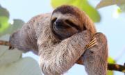 Почина най-възрастният ленивец в света (ВИДЕО)