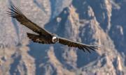 Кондорите размахват крила само в 1% от времето си в небето (ВИДЕО)