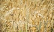 Танева: 5 млн. т. ще е добивът на зърно
