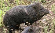 На 2 октомври се открива груповият лов на диви прасета