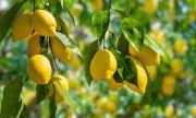 Лимонът вечер помага за отслабване