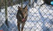 Вълк избяга от зоопарка в Хасково (ВИДЕО)