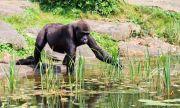 Експериментално! Ваксинираха срещу COVID-19 маймуни в зоопарка в Сан Диего