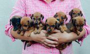 7 дребни породи кучета - идеални за домашни любимци